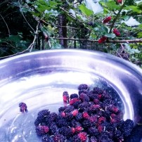 Organic mulberries