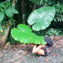 Sabah, Borneo leaf