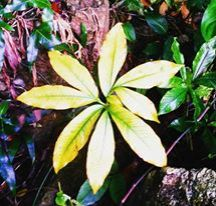Leaf in Vietnam