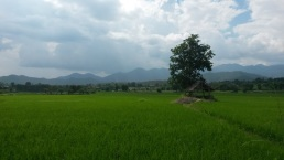 rice fields pai