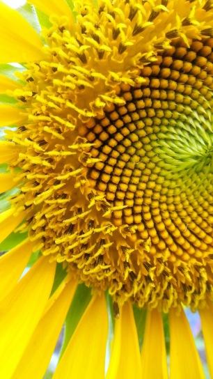 Faasai sunflower