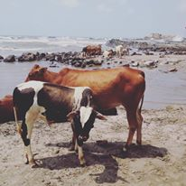 cows in Goa, India