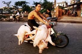pigs vietnam