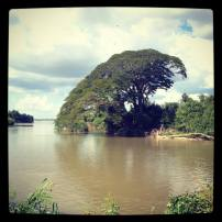 Great tree in Don Det Laos