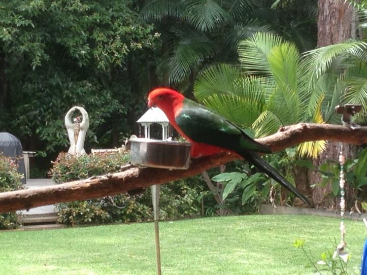 parrot sunshine coast