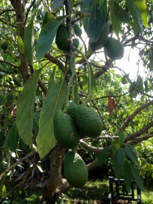 Avocados galore