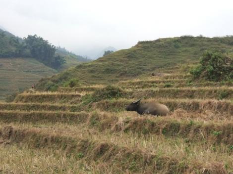 sapa hiking cow